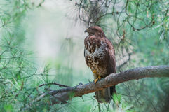 Common buzzard on a pine branch Royalty Free Stock Photography