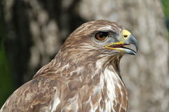 Common Buzzard Portrait. Common buzzard in a tree stock photos