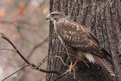 Common buzzard Stock Photography