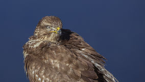 Common Buzzard Stock Photo