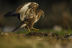 Common buzzard with prey Royalty Free Stock Photography
