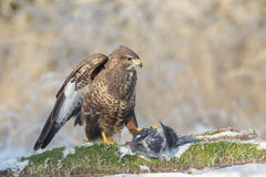 Common buzzard with prey Stock Images