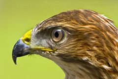 Common Buzzard Profile Royalty Free Stock Photo