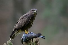 Common buzzard sit with woodpigeon on a wood. Common buzzard siting with dead woodpigeon on a wood, winter, buteo buteo Royalty Free Stock Images
