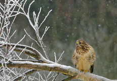 Common buzzard sittin on the sitting on the felled tree. Poland in winter.Common buzzard on the felled tree and snowflakes falling down Stock Photos