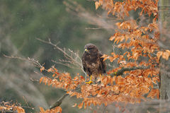Common Buzzard sitting on branch Royalty Free Stock Photography