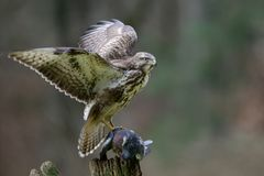 Common buzzard sitting with dead woodpigeon on a wood Stock Image