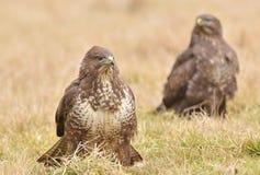 Common buzzard Royalty Free Stock Photography