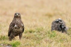 Common buzzard Royalty Free Stock Photos