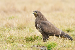 Common buzzard Royalty Free Stock Photo