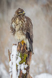 Buzzard on an old tree stump Royalty Free Stock Photo