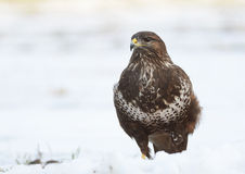 Common buzzard Stock Images