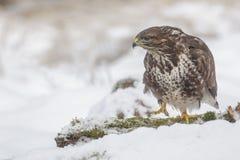 Common buzzard in snow Royalty Free Stock Photos