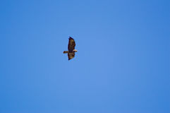 Common Buzzard Royalty Free Stock Image