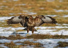 Common buzzard with spread wings. Poland,Meadows near Bug river in winter.The common buzzard landed on the meadow and he spread his wings, frightening the rival Stock Photo