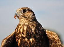 Common buzzard with spread wings and a small prey Stock Photo