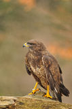 Isolated Common Buzzard standing on branch Stock Photos