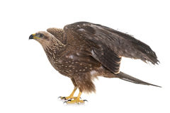 Common buzzard in studio Stock Photo
