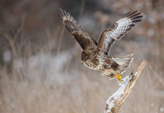 Buzzard taking flight Royalty Free Stock Images