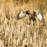 A Common Buzzard taking off Royalty Free Stock Photos