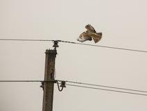 Common Buzzard taking off Stock Photo