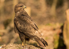 Common buzzard Royalty Free Stock Photography