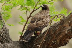 Common Buzzard in the Tree Stock Images