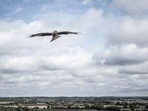 A Soaring Bird of Prey. A common Buzzard in the UK starts high above a disused gravel pit under blue and cloudy skies. captured using a DJI Mavic Pro drone royalty free stock images