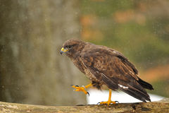 Common Buzzard walking on branch Royalty Free Stock Photo
