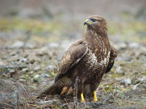Common Buzzard In Wildlife Royalty Free Stock Photo