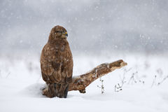 Common buzzard in winter Stock Photography