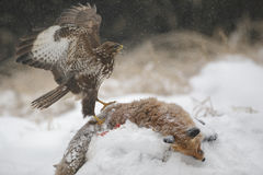 Common buzzard in winter scavenging from a red fox Stock Image
