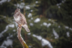 Common buzzard in winter Royalty Free Stock Image