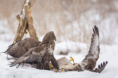 Buzzards fighting Stock Photos
