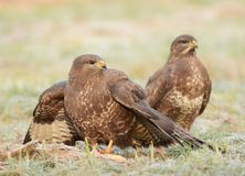 Common buzzards Royalty Free Stock Images