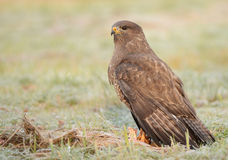 Common buzzards Royalty Free Stock Photos