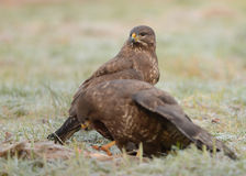Common buzzards Stock Photos