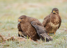 Common buzzards Stock Images