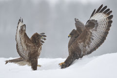 Buzzards fight Royalty Free Stock Image