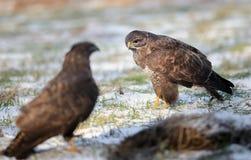 Common buzzards Stock Photos