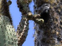 Common cactus finch, Geospiza scandens, eating cactus flower on Santa Cruz Island in Galapagos National Park, Equador. One Common cactus finch, Geospiza scandens Royalty Free Stock Image