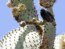 Common cactus finch, Geospiza scandens, eating cactus flower on Santa Cruz Island in Galapagos National Park, Equador. One Common cactus finch, Geospiza scandens Royalty Free Stock Images