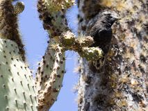 Common cactus finch, Geospiza scandens, eating cactus flower on Santa Cruz Island in Galapagos National Park, Equador. One Common cactus finch, Geospiza scandens Stock Image