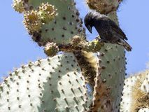 Common cactus finch, Geospiza scandens, eating cactus flower on Santa Cruz Island in Galapagos National Park, Equador. One Common cactus finch, Geospiza scandens Royalty Free Stock Photography