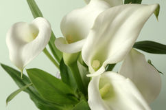 A common calla Stock Photos