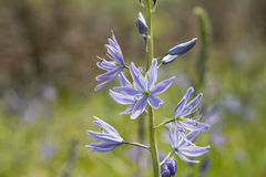 Common Camas Flower Stock Photo