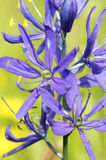Common Camas - Small Camas (Camassia quash) Royalty Free Stock Photo