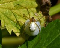 Common Candy-striped Spider Enoplognatha ovata. With a cocoon stock image