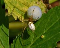 Common Candy-striped Spider Enoplognatha ovata. With a cocoon stock photos
