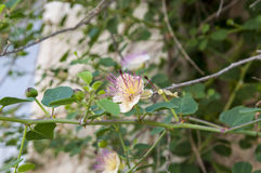 Common Caper Capparis spinosa Royalty Free Stock Image